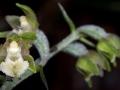 E-Microphylla_15