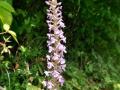 g_densiflora_08