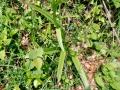 g_densiflora_09