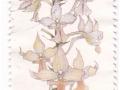 Južna Afrika - Calanthe natalensis