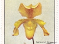 Kuba - Cypripedium dargeus