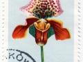 Poljska - Cypripedium hibridum