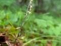 E-Microphylla_01