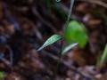 E-Microphylla_05