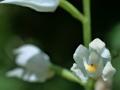 C_longifolia