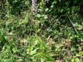 g_densiflora_10