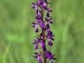 A_palustris