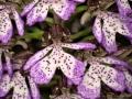 O_purpurea