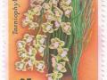 Indonezija - Taeniophyllum sp.