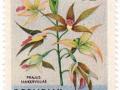 Maluki - Phaius tancarvilleae