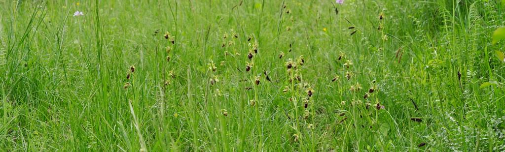 Osjeliko mačje uho na suhem travniku.